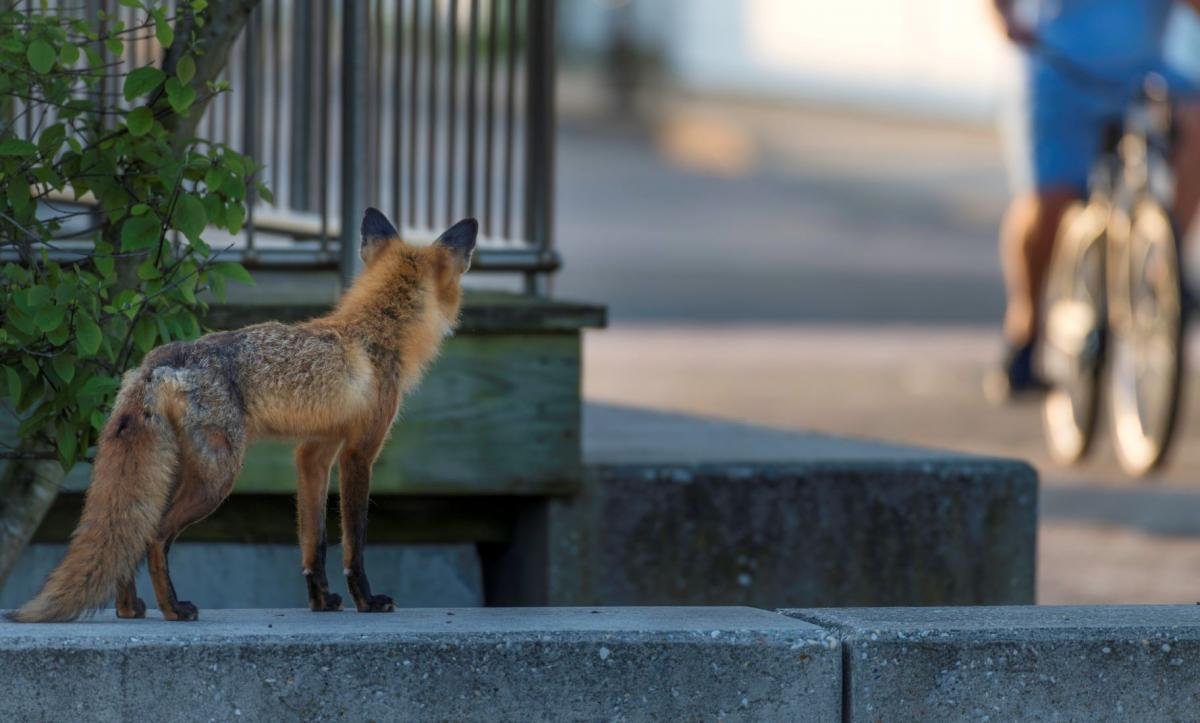 A fox sitting behind a corner on a step in a city