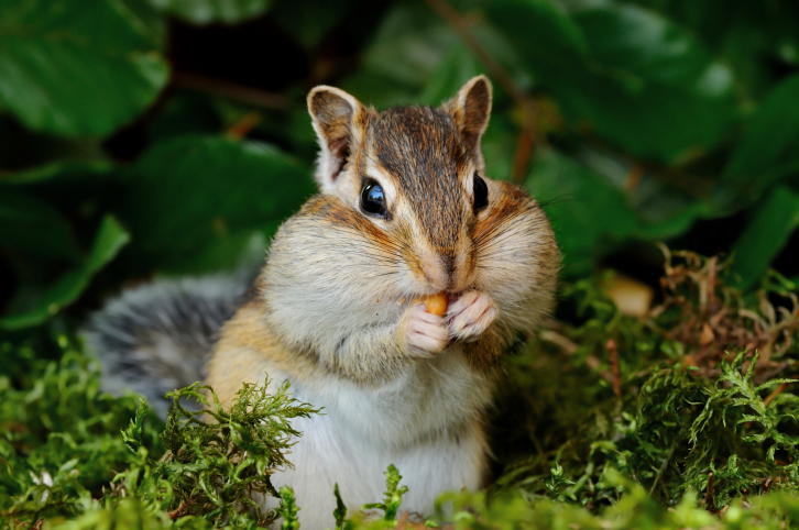 Chipmunk in the forest