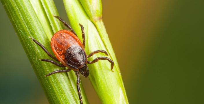 Tick sitting on grass
